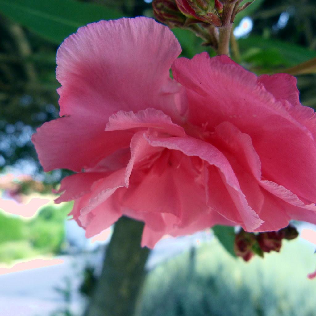 19-05-2012-pink-oleander