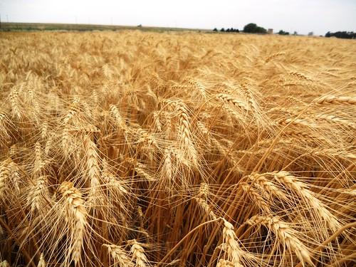 Beautiful wheat in Carmen