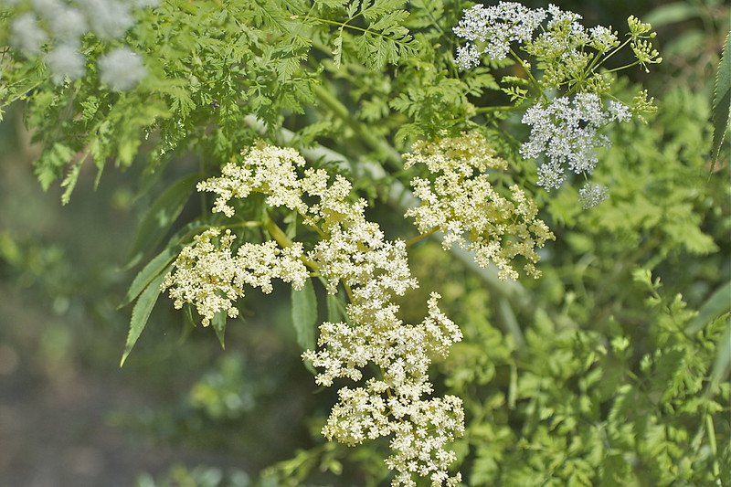 elderberry and water hemlock together
