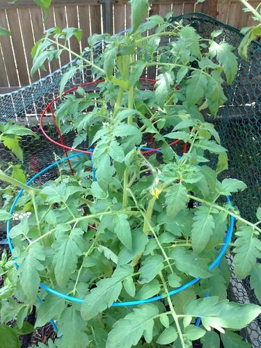 Tomatoes around June 8ish