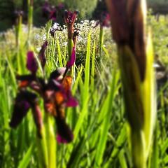 Liljer, nydelige skumle mørklilla og nesten svarte