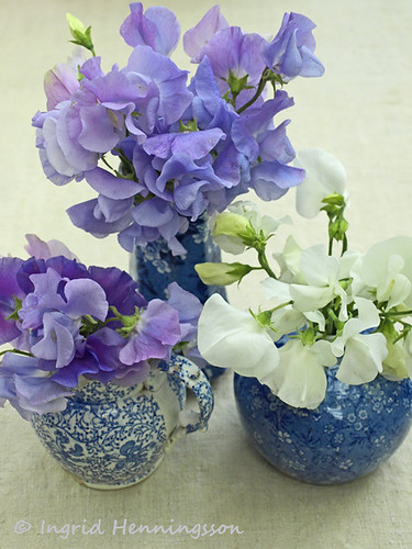 Purple and White Sweet Peas