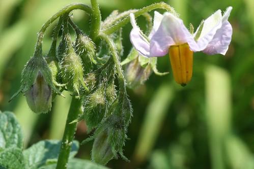 garden flower 040