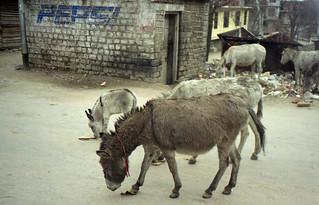 donkeys in Manali