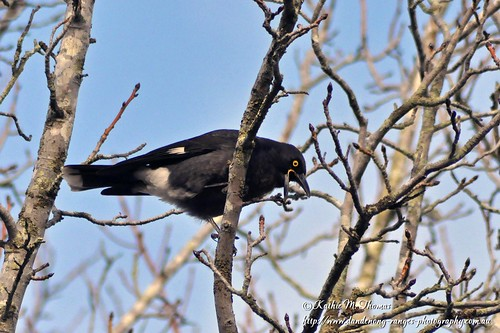 Currawong in Liquidamber tree