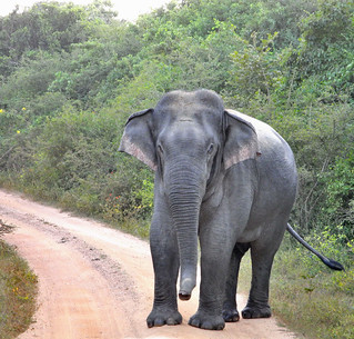 Elephant in the Road, Sri Lanka