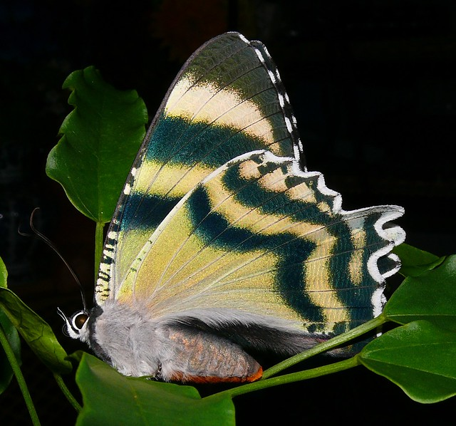 Alcides metaurus Zodiac day moth Airlie Beach P1050596