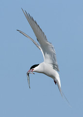 Skuas, Gulls & terns