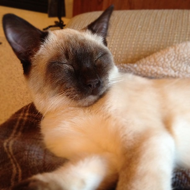 Sleepy Head #cat #siamese