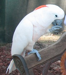 macaw(0.0), sulphur crested cockatoo(0.0), cockatoo(1.0), animal(1.0), pet(1.0), fauna(1.0), beak(1.0), bird(1.0),