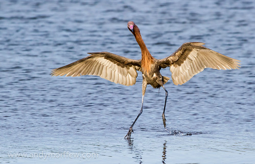 florida hokeycokey marcoisland reddishegret dancingbird tigertailbeach birdperfect blinkagain andymorffew morffew