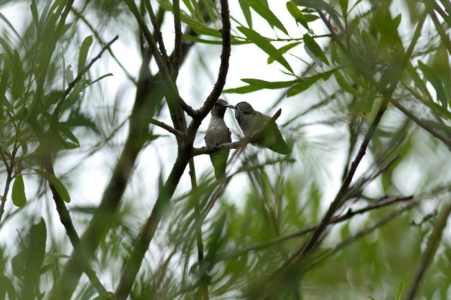 Hybrid Hummingbird nest 070512-4