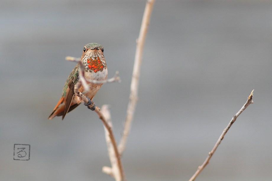 Allen's Hummingbird 071012-2