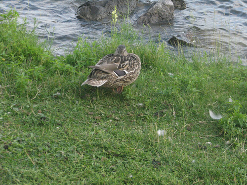 Duck Peers Over Shoulder by dwight_ew