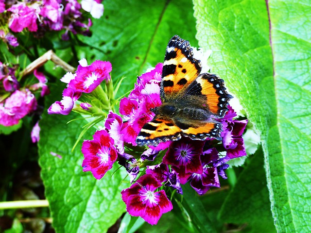 Tortoiseshell Butterfly at Greenbank Garden