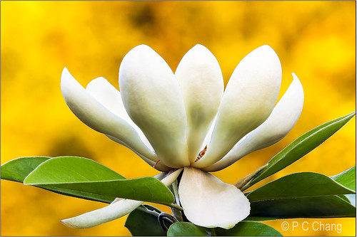 sunset summer white flower green beautiful yellow garden gold flora glow blossom sparkle foliage bloom magnolia goldenhour thegalaxy pcchang ringexcellence flickrstruereflection1 flickrstruereflection2 rememberthatmomentlevel1 rememberthatmomentlevel2 rememberthatmomentlevel3