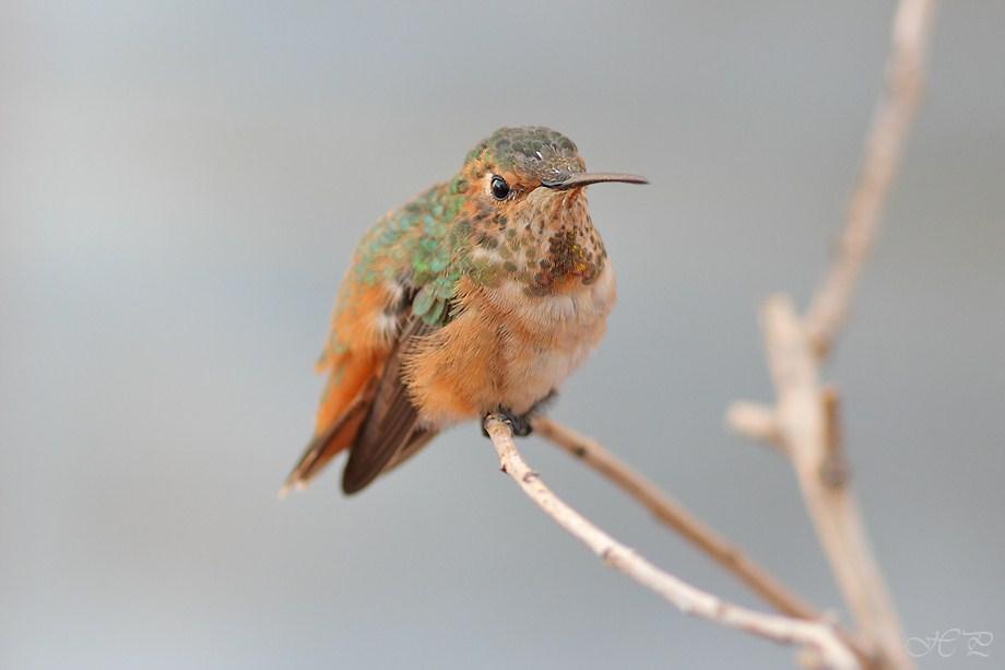 Allen's Hummingbird 071812-2
