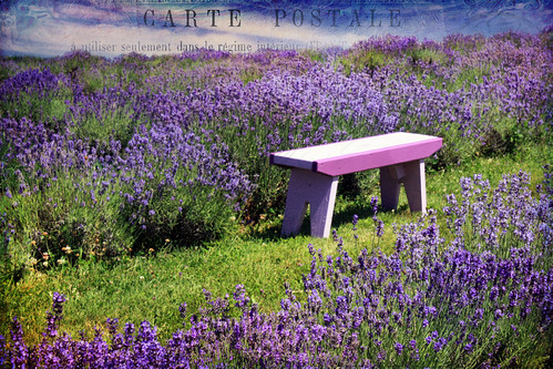 Sitting amongst the Lavender