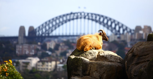 Himalayan Tahr and the Sydney Harbour Bridge