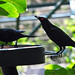 Small photo of Metallic Starling (Aplonis metallica) male