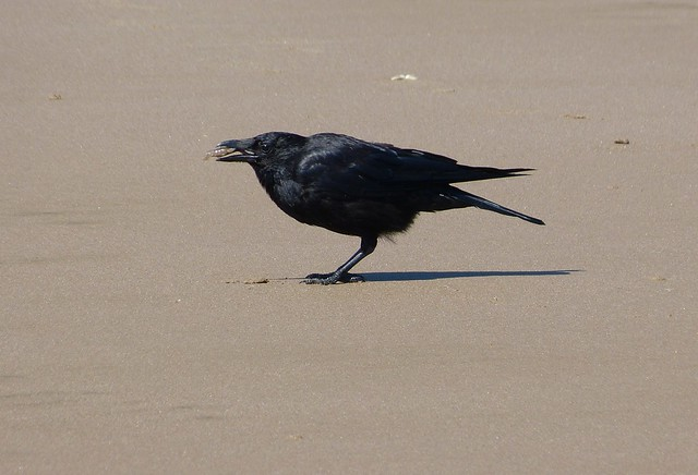 27638 - Carrion Crow, Rhossili