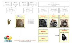 Gorilla Family - Barcelona - Ebobo's group