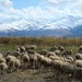 Indigenous sheep  of Kyrgyzsytan