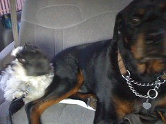 dog breed, animal, dog, pet, rottweiler, carnivoran,