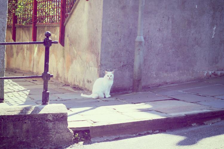white cat shetland