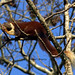 Giant red squirrel in Dandeli
