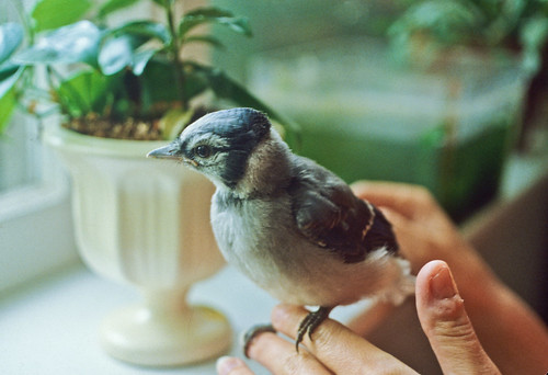 Lugwig the baby Blue Jay