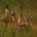 Deer_2489.jpg