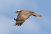 flying Osprey (Pandion haliaetus) by RonW's Nature Photography