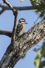 Sunda Woodpecker - Baluran NP - East Java_MG_8562