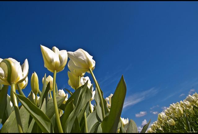 White Dutch Beauty