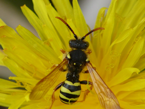 Solitary Wasp: Mellinus Arvensis by Peter Orchard