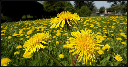 The golden days of Dandelion...a wonderful sunday for my dear friends.!.