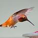 Flickr photo 'Rufus Hummingbird-