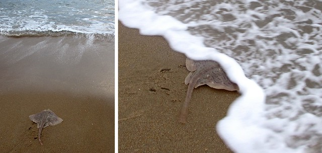 A beached skate returns to sea.