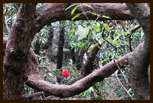 A glimpse of Rhododendron in the forest at Chail