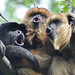 Howling Black Howler Monkeys by Truus & Zoo