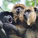 Howling Black Howler Monkeys by Truus & Zoo