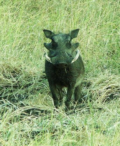 Warthog by CharlesRay2010