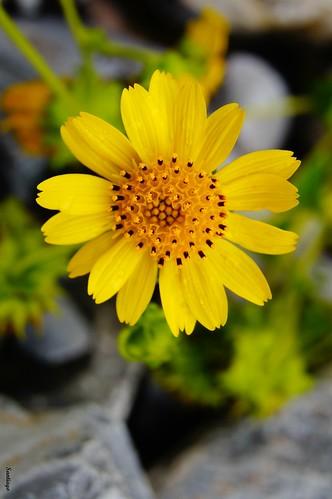 flores méxico golden amarillo pétalos