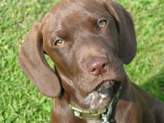 dog breed, animal, dog, pet, german shorthaired pointer, hunting dog, carnivoran, chesapeake bay retriever, vizsla,