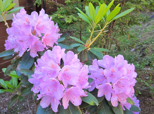 Rhododendron by Anna Amnell