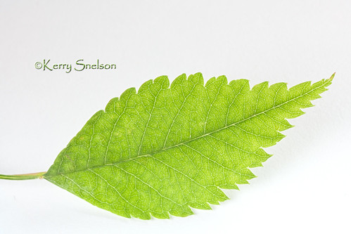 175/366 - June 23, 2012 - Simply a Leaf