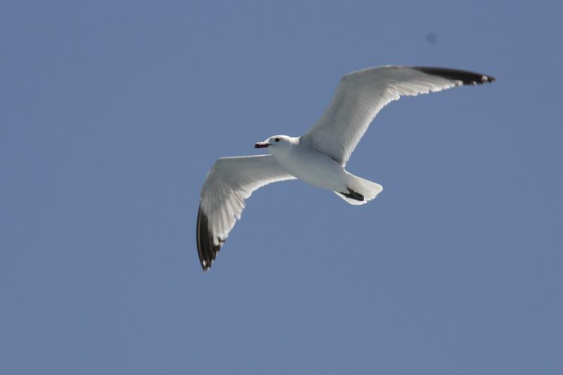 IMG_3894 чайка - гориз