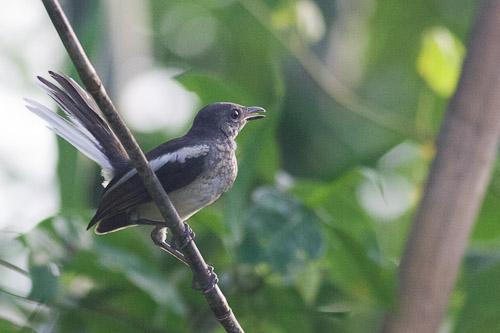 juvenile Pied Fantail