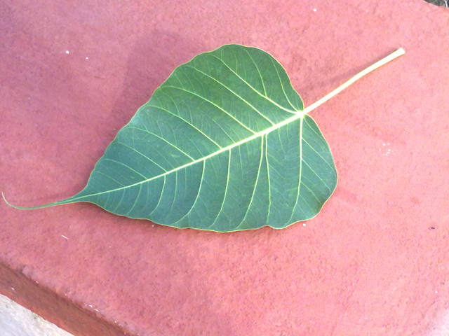 banyan tree leaf - photo #9
